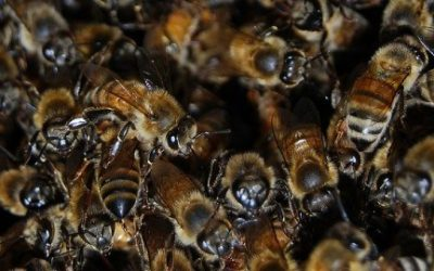 Bees are dying, and you should care